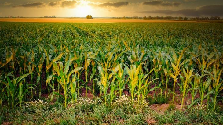 corn-4896300_1920